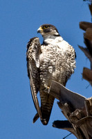 Peregrine falcon at Main Beach, Santa Cruz